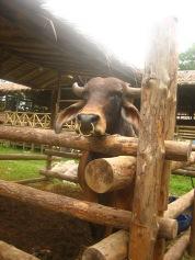 A Brahman cow